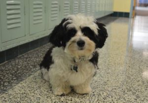 Bandit the therapy dog in a hallway at Goff Middle School